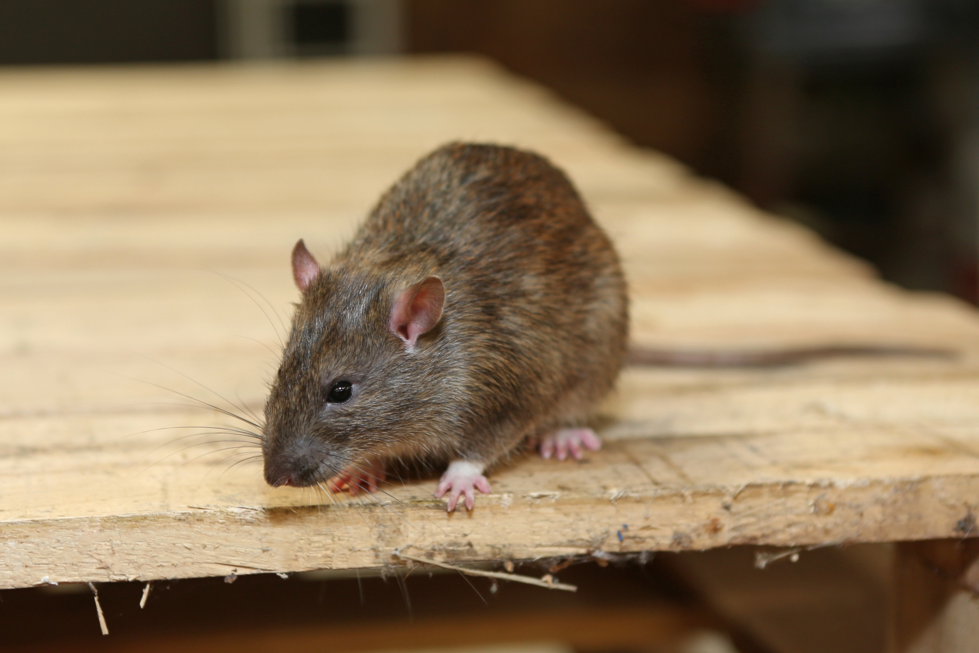 Rat Infestation, Pest Control in Greenford, UB6. Call Now 020 8166 9746