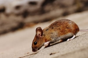 Mouse extermination, Pest Control in Greenford, UB6. Call Now 020 8166 9746
