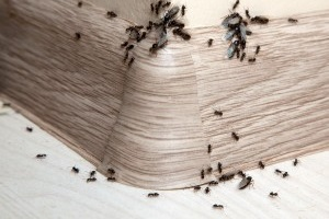 Ant Control, Pest Control in Greenford, UB6. Call Now 020 8166 9746